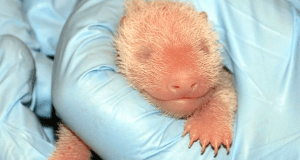 http://abcnews.go.com/US/wireStory/mei-xiang-dc-panda-birthed-live-cub-stillborn-20056847