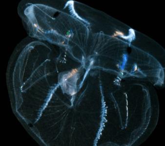 http://www.dailymail.co.uk/sciencetech/article-2639831/The-alien-backyard-Researchers-sea-creature-unique-brain-regrow-four-days.html