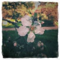 אבל בשקדיה שעל ידה, כבר פרחו כמה פרחים, למשל זה.