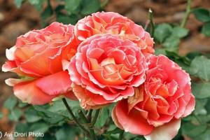 הפרחים באדמסונס האוס