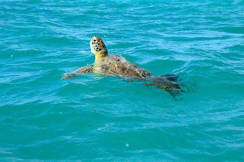 Réserve naturelle de Sian Kaan : tortue, image non libre de droit.