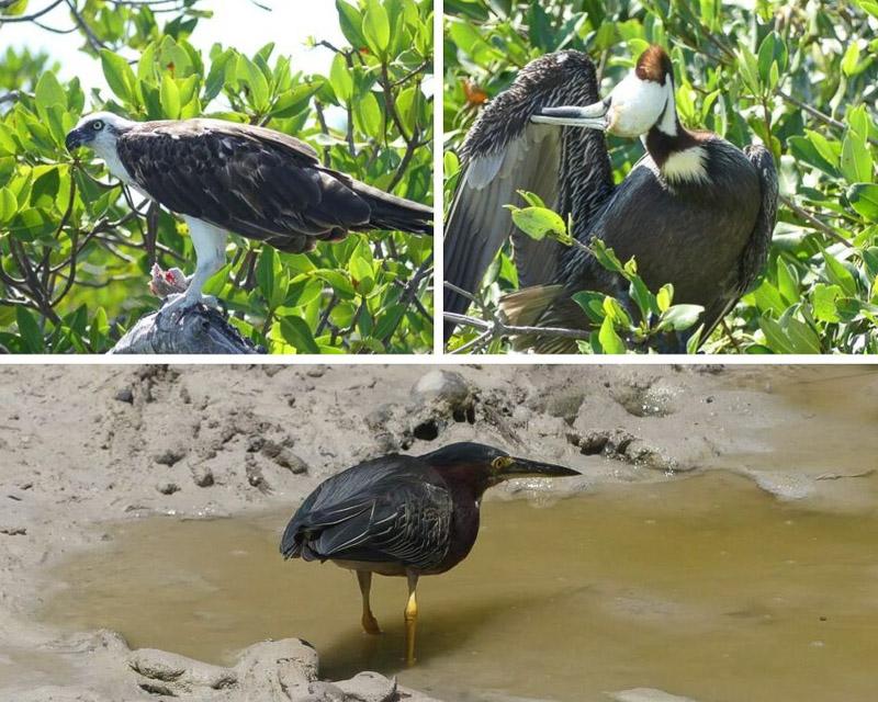 Réserve naturelle de Sian Kaan : oiseaux, image non libre de droit.