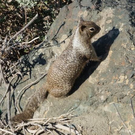 Bryan Wilson, le mec de la plage (écureuil terrestre de Californie)