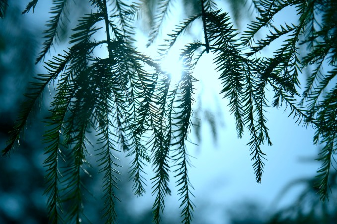 Delicate Pine Needles - Mabry Campbell
