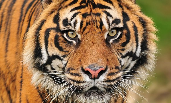 Customs seize 78 tiger fangs & 69 claws disguised as 'egg rolls'