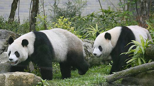 Macau receives two giant pandas on Saturday