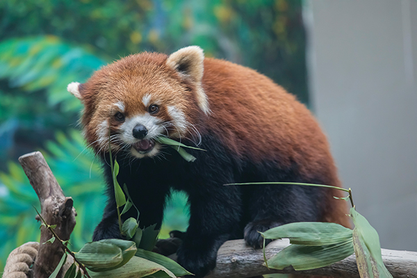Red panda day out