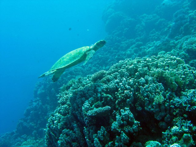 A green turtle drifting lazily in the Red Sea
