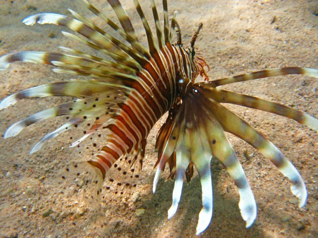 A lion fish in the Red Sea