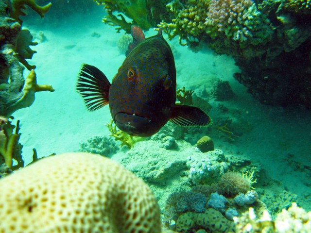 A blue spotted wrasse in the Red Sea