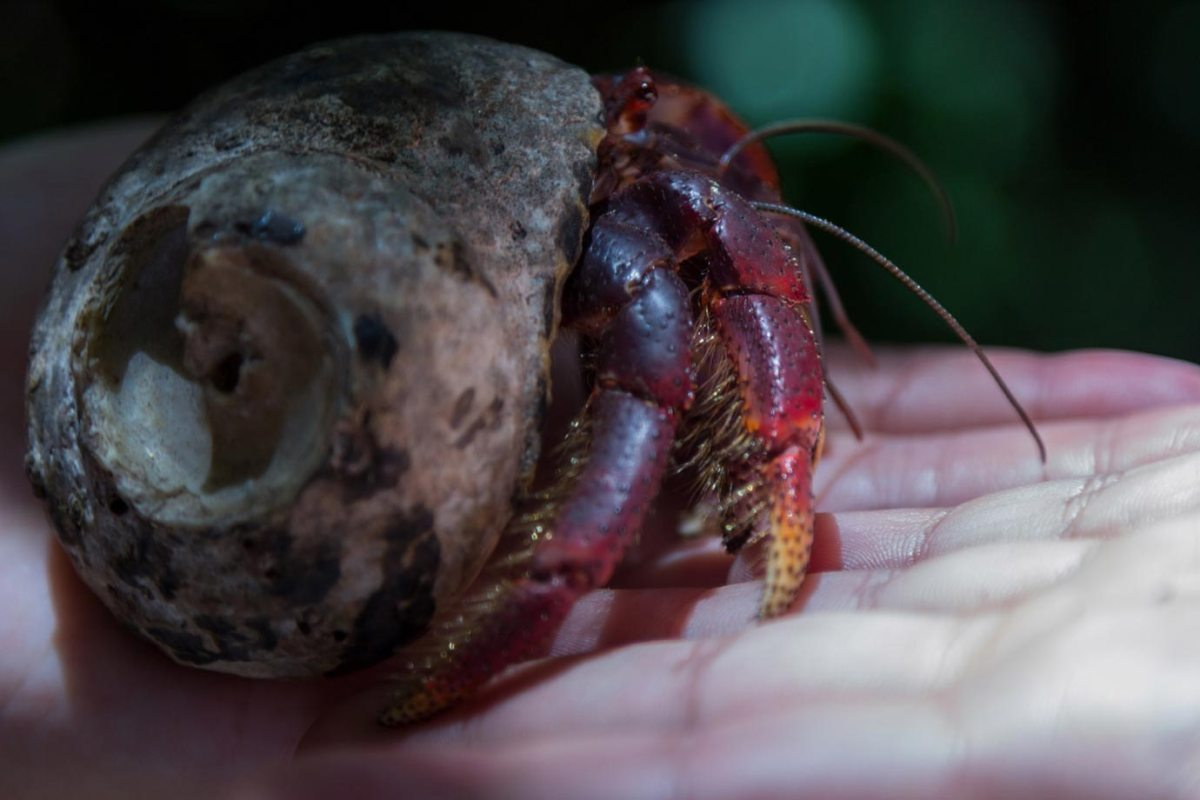 A hermit crab happy on a hand in Belize