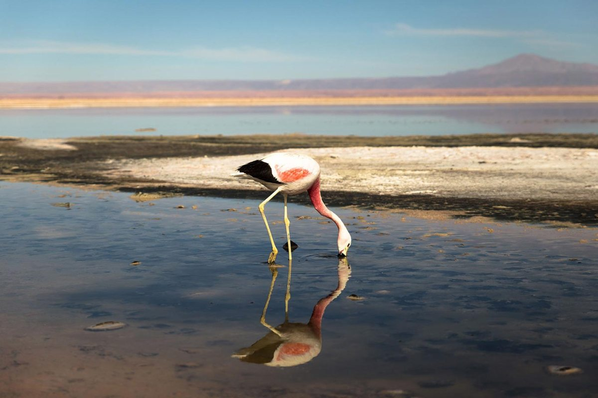 A pink flamingo at Chaxa Lagoon in the Atacama Highlands, Chile