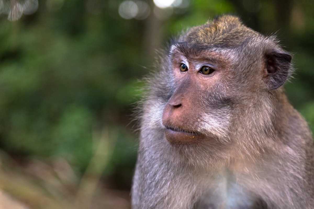 A monkey from the Monkey Forest in Ubud, Bali