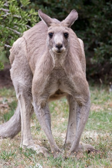 16. 2018_teawamutu_a045_nature_eastern grey kangaroo