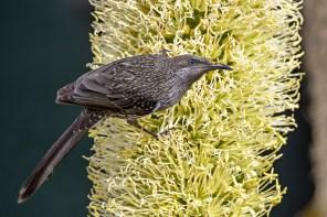 20. 2018_teawamutu_a065_nature_wattlebird