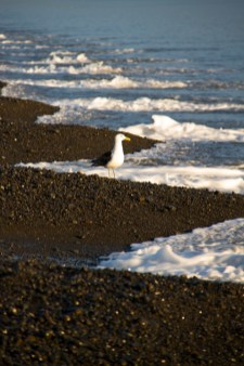 iconicnz0017, the large black back gull, dipping his toes