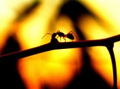lonesome ant