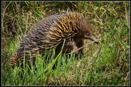 Echidna at Lauriston Reservoir 30Oct2020