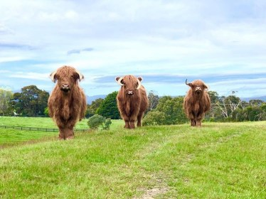 Three highland cows on grass with blue sky