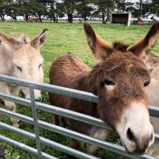 Two donkeys in paddock