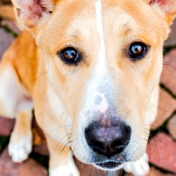 Closeup photo of rescue dog Hachi from Montgomery County Humane Society