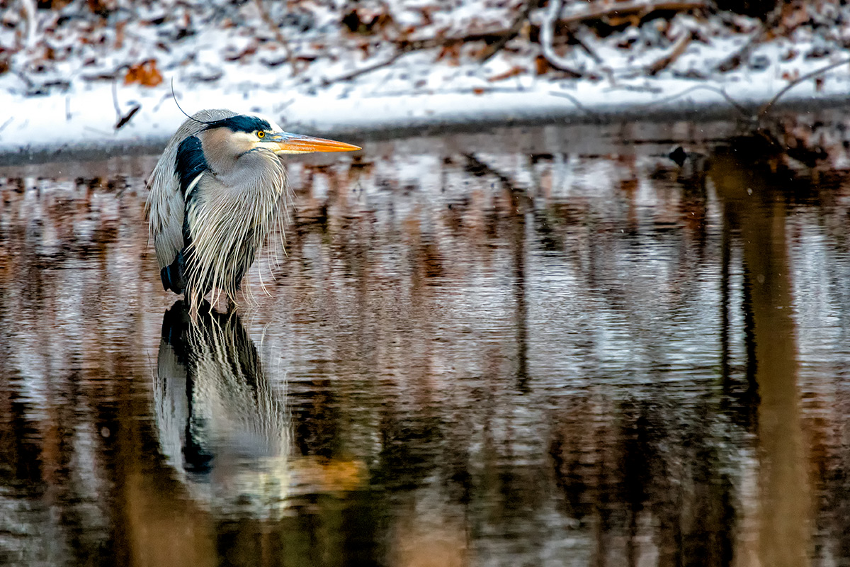Chilly Great Blue Heron