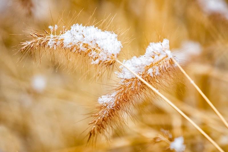 Snow on Wheat Grass