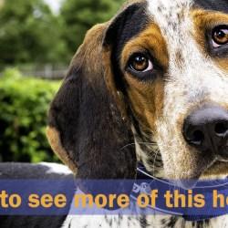 Bluetick Coonhound Thumbnail