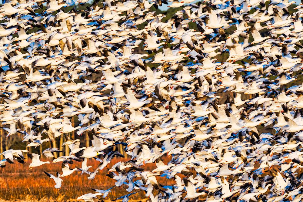 Snow Geese, Blackwater NWR