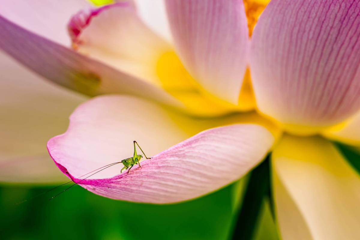 Grasshopper on Lotus Flower- Kenilworth Aquatic Gardens - Washington D.C.