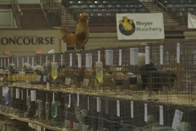 Chicken People Movie Still 2