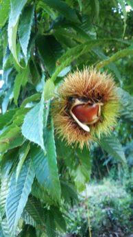 うちの近くに栗の木があります。今にも栗が飛び出してきそうです(笑)実りの秋を感じました。(中石井 女性)