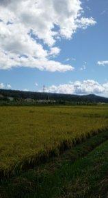 関岡飯野の田園風景と空。台風一過の空っていいですね。稲も無事でした。(関岡 女性)