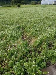 蕎麦の畑に残った、台風の足跡です。(東舘 女性)