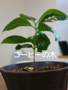 1年目のコーヒーの木です(宝坂 男性)