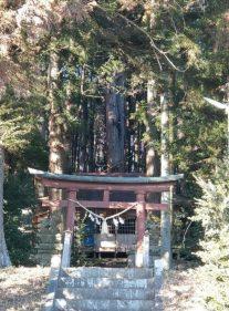 東舘神社の御神木の杉の木。堂々としていて大好きです(東舘・女性)