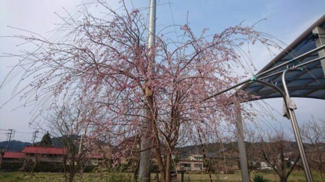 我が家の庭の桜(山野井・男性)