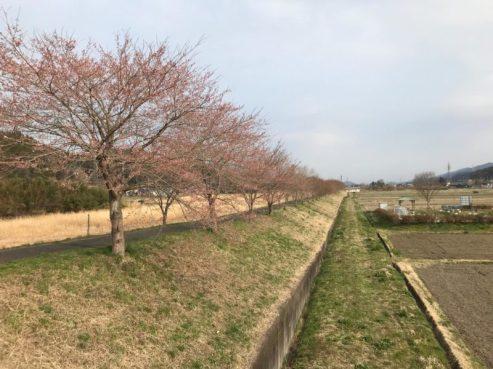 サイクリングロードの桜2(東舘・男性)