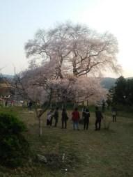 夕方の戸津辺の桜(中石井・女性)