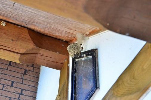 家を建てて15年目にしてやっと 燕が巣を作りました。 只今巣作りに励んでいます! 私が近づくと燕が逃げてしまい、巣だけの写真となりました。 しばらく楽しめそうです。(小田川・男性)