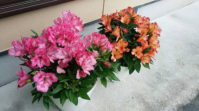 キレイな花。 アルストロメリア✨(戸塚・女性)