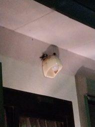 ツバメ。どうやら巣の近くで雛を見守るお父さんのようです。(東舘・女性)