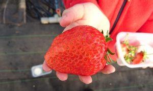 まちしるべ・まちレポ!松戸・古川園の大きい苺