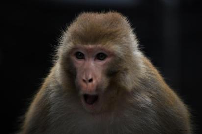 Indie Himalaje małpy kozy masto mnisi klasztor 25.03.2019 Fot Maciej Załuski