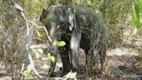 Srilanka-słonie-bawoły-safari-małpy-październik-2012-Fot-Maciej-Załuski-29