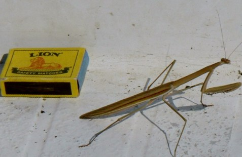 Praying Mantis - stayed with us all day