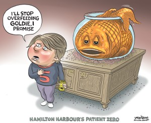 "Editorial Cartoon by Graeme MacKay, The Hamilton Spectator Ð Saturday January 9, 2015 Hamilton Harbour becoming giant goldfish bowl Millions of tiny ones are swimming around after a summer that saw weather and water conditions turn Cootes Paradise into a massive breeding ground for the carp-like creatures. The non-native fish species Ñ that people buy as pets and sometimes, ill-advisedly, release into local waterways Ñ have suddenly gone viral in the bay and have become the latest complication in its rehabilitation. It used to be that goldfish in the Ontario outdoors had a very low survival rate and little success at reproducing. But officials at the Royal Botanical Gardens and the Department of Fisheries and Oceans Canada say that's been changing in recent years in the warmer weather we've been experiencing. They've noticed exponential increases in numbers being counted at the Desjardins Canal Fishway Ñ from 20 or less per year in the late 1990s to 2,500 this past spring. And early this winter, millions of five centimetre, young-of-the-year goldfish have been seen swimming in giant schools at various locations in the harbour, including the section of the canal below the railway bridge. ""They seem to be heading toward taking over,"" says Tys Theysmeyer, the head of natural lands for the RBG. Becky Cudmore, an invasive species expert with Fisheries and Oceans Canada, says it's a problem being noticed at numerous locations in the lower great lakes, with Hamilton Harbour being a particular hot spot. ""With increased warming trends we're seeing an increased ability of some fish species to survive in areas where we wouldn't think they could survive,"" she says. Theysmeyer says low water levels in the early summer in Cootes Paradise Ñ where fish tend to reproduce Ñ that suddenly rose later on also assisted goldfish reproduction. Shallow water is good for eggs, slightly deeper water is better as the tiny fish start to swim around. When water levels jumped 50 cms, d"