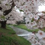 観音寺川の桜、令和最初の【東北さくらラリー】福島県