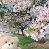 泉田河川広場~山形県~新庄市~東北~桜~ドライブ~2019~5月~2日目~朝