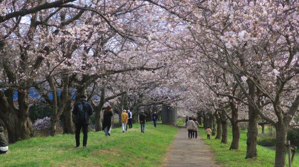 【桜】福岡堰さくら公園~茨城県 咲き始めてました 2020年3月